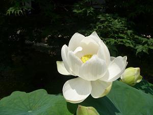真っ白なハスの花