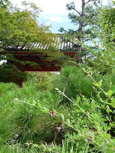 赤門前の萩