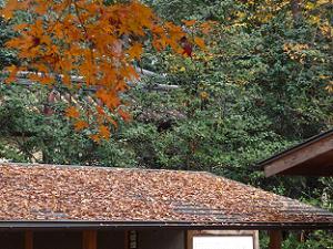 休憩所の屋根に積もるモミジ