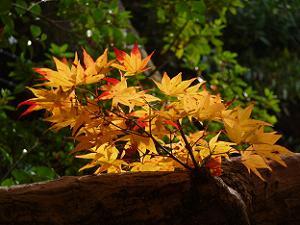 赤く染まりゆく葉