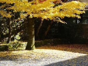 地面に落ちたイチョウの葉