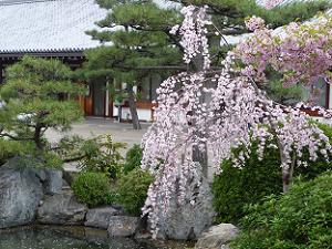 枝垂れ桜と河津桜