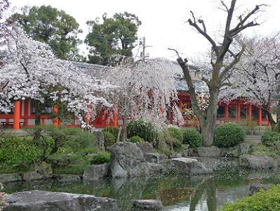 池のほとりで咲きそろう桜
