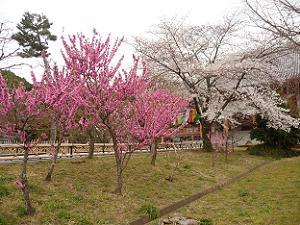 桃とソメイヨシノ