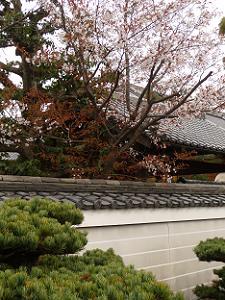 塀際の山桜