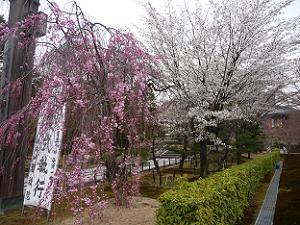 八重紅枝垂れ桜と山桜