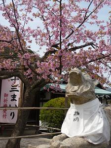 狛虎と法輪寺桜
