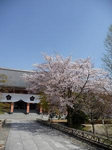 金堂前の山桜