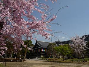 八重紅枝垂れ桜と明王殿