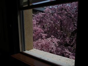 窓から見た八重紅枝垂れ桜