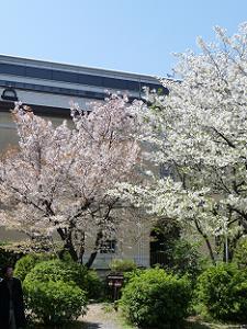 容保桜(左)と大島桜(右)