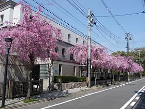 京都地方裁判所の八重紅枝垂れ桜
