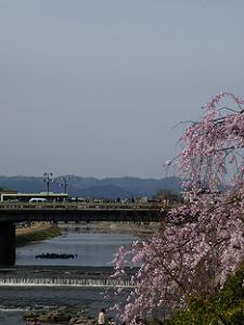 枝垂れ桜と四条大橋
