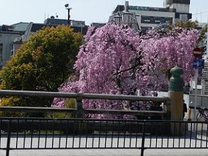 三条大橋の近くの八重紅枝垂れ桜