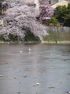 鴨川に着きそうな桜