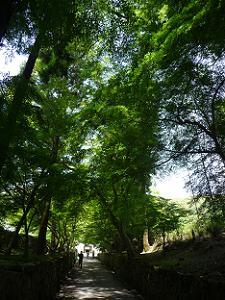 琴坂の新緑