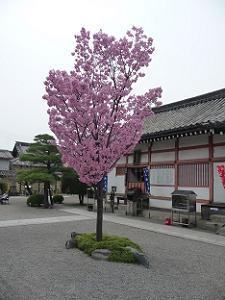 御影堂の西側の桜