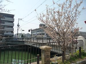 徳成橋近くの桃桜