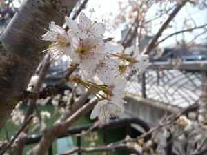 終わりかけの桃桜