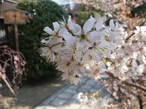 桃桜のアップ