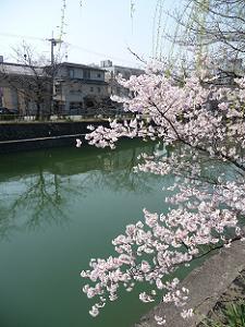 徳成橋近くの細井桜
