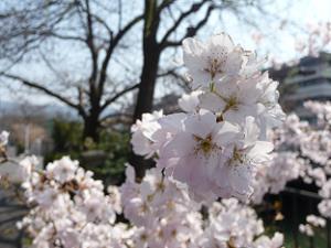 細井桜のアップ