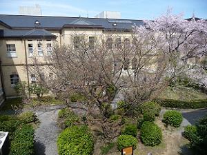 咲き始めの容保桜