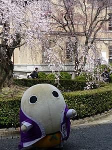まゆまろと祇園しだれ桜