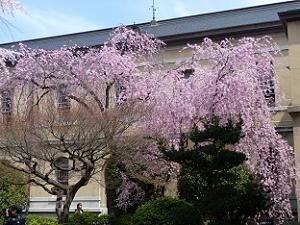 見納めの紅一重しだれ桜