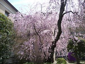 紅一重しだれ桜