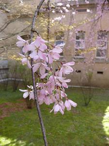紅一重しだれ桜のアップ