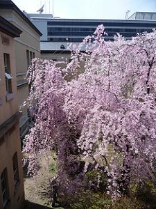 2階から見た紅一重しだれ桜