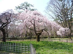 見ごろ間近の糸桜