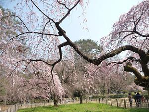 糸桜の下で