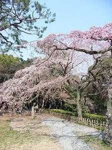 近衛池付近の糸桜