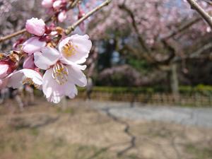 糸桜のアップ