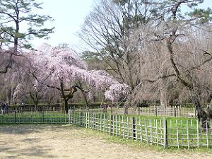 遅咲きの糸桜はつぼみの状態