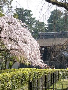 糸桜と御所の門
