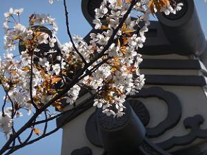 山桜のアップ