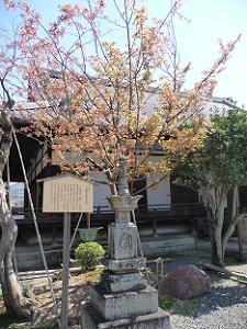 終わりかけの蜂須賀桜