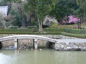 池越しに見る白梅と紅梅