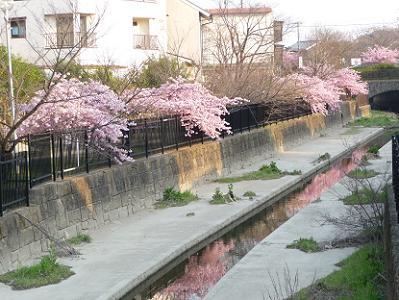 水路に映りこむ河津桜