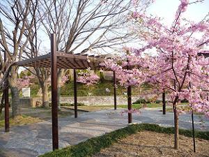 休憩所付近の河津桜