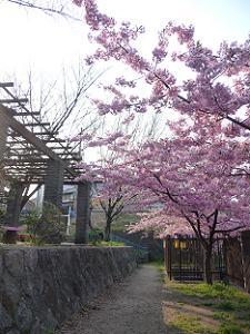 公園付近の河津桜