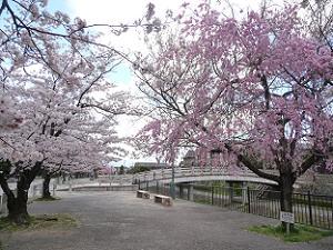 安居橋付近の枝垂れ桜