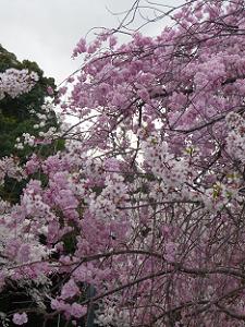 同じ木からソメイヨシノと枝垂れ桜の花が咲いている