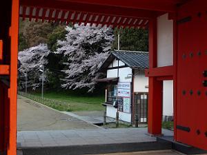 門越しに見る桜