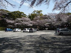 山上駐車場の桜
