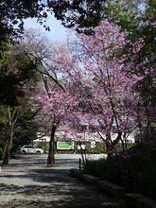 満開の早咲きの桜