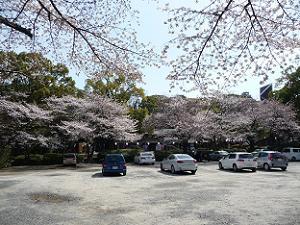 再び山上駐車場の桜